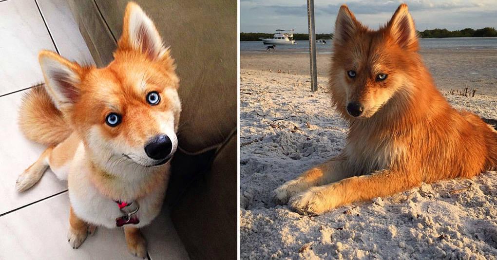 Встречайте: Майя — собака, которая безумно похожа на лису