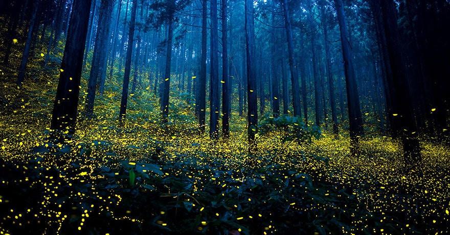 Каждое лето светлячки превращают леса Японии в фантастическое световое шоу