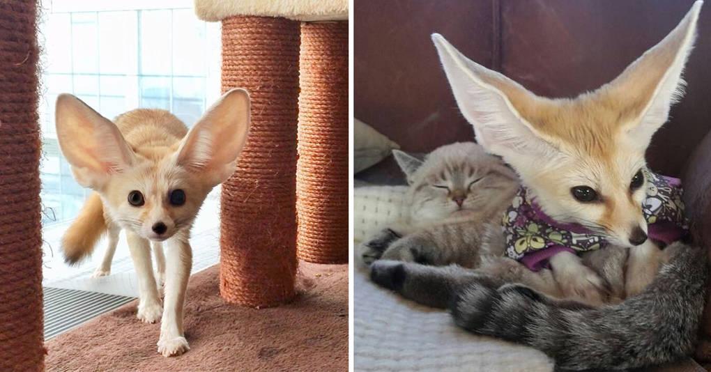 Вы не сможете не влюбиться в этого домашнего лисенка-фенька и его кошачьего друга
