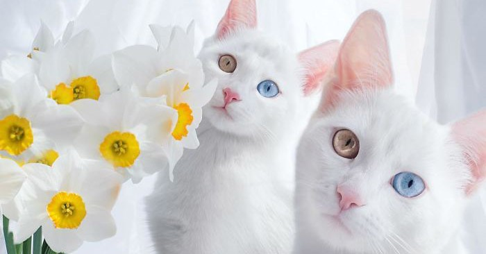 Эти кошки-близняшки с гетерохромией просто восхитительны!