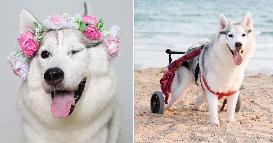 Эта хаски, рожденная без лап, стала самым счастливым щенком на свете