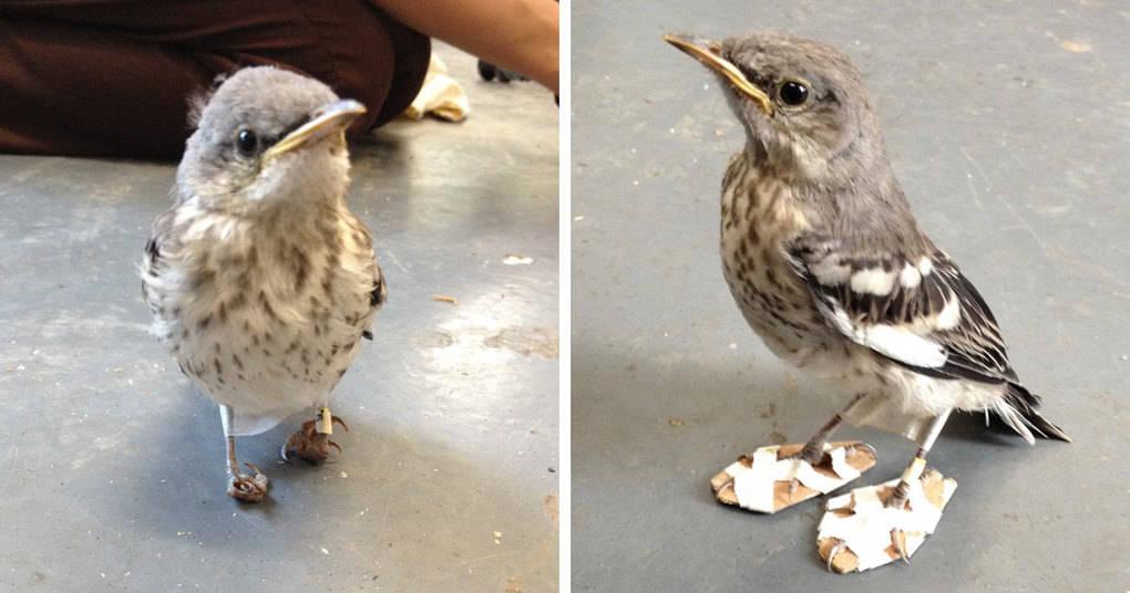 Раненой маленькой птице одели «снегоступы», чтобы вылечить ее лапки