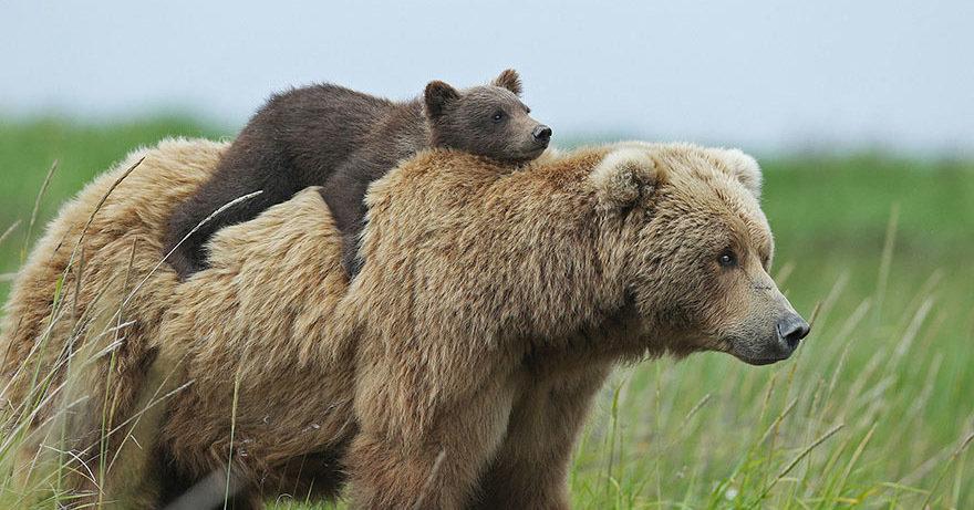15 невероятно милых фотографий медведиц с детьми