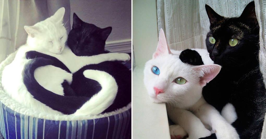20 инь-ян котов и кошек, которые идеально смотрятся вместе