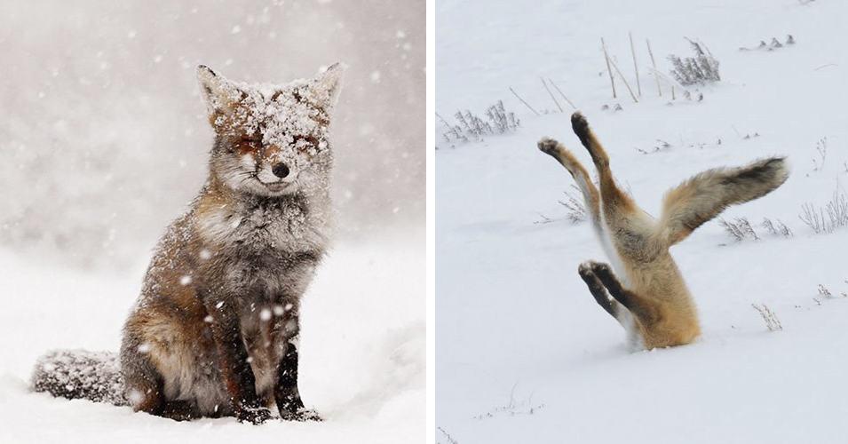 20 фотографий зимних лис, в которых просто невозможно не влюбиться