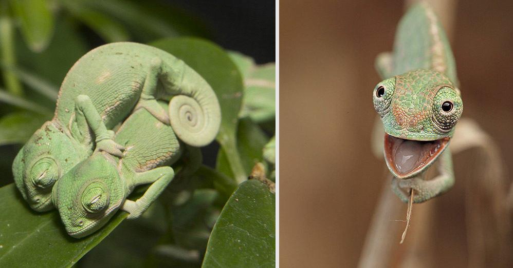 10 фотографий детенышей хамелеонов, в которых вы влюбитесь с первого взгляда