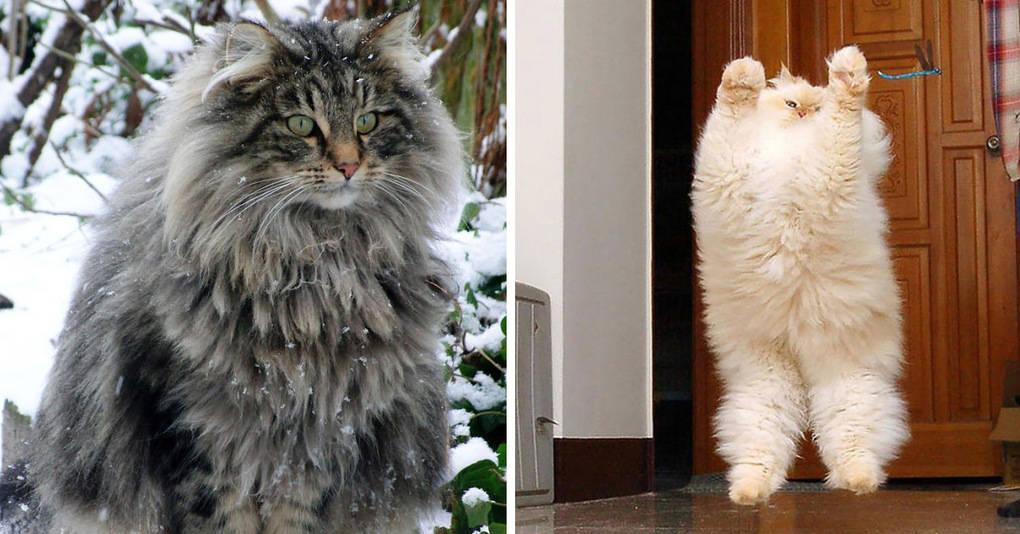 20 фотографий самых пушистых котиков на планете