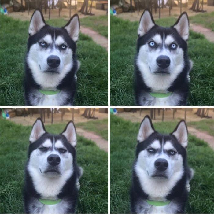 funny-husky-dog-posts-3-5834383b480a3__700