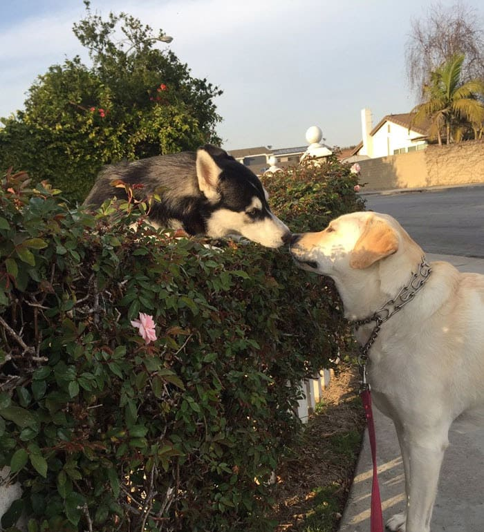 funny-husky-dog-posts-64-583454ee4bd19__700