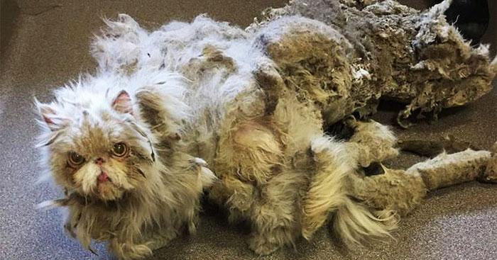 У невероятно обросшего кота состригли 5 килограмм свалявшейся шерсти