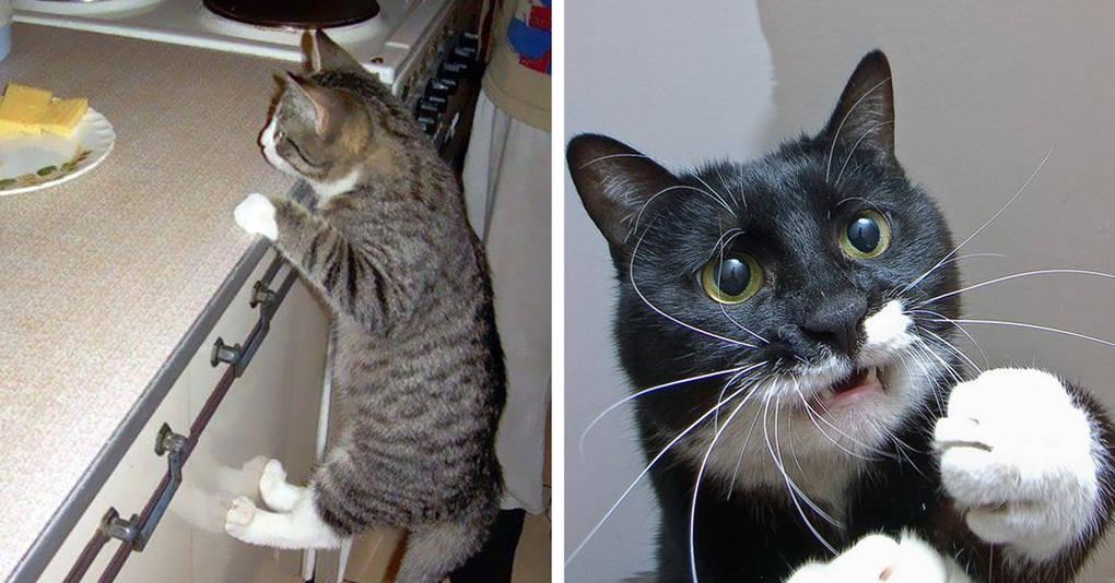 15 невероятно целеустремленных котов, которые готовы на всё во имя еды