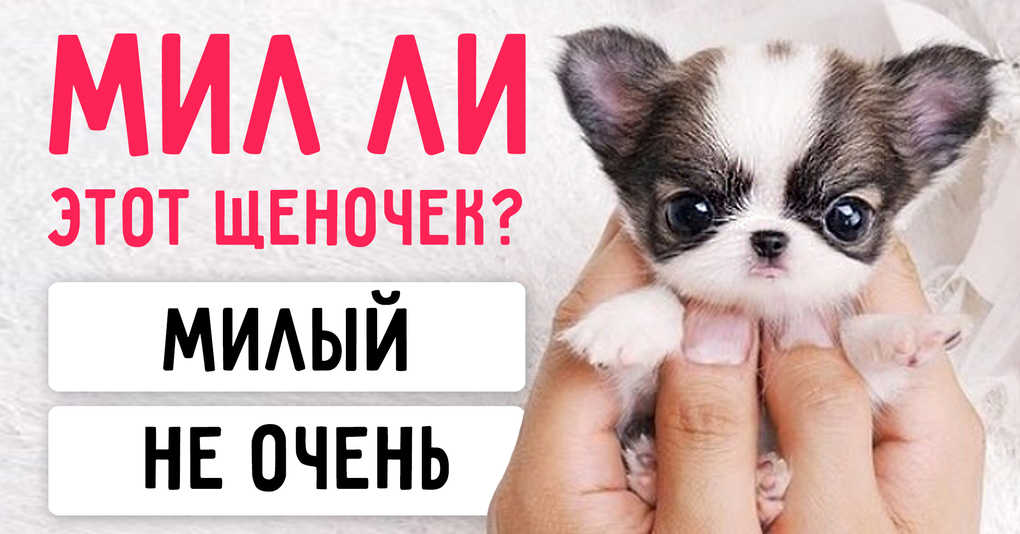 Тест: Милы ли эти щеночки, или вам показалось?
