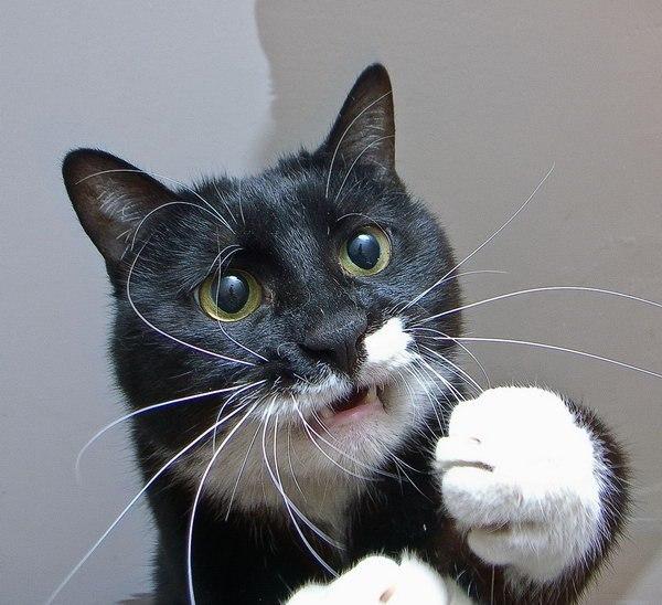c3a9141276d5 - 15 невероятно целеустремленных котов, которые готовы на всё во имя еды