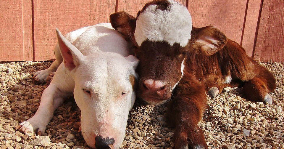 Эта миниатюрная корова стала звездой Интернета благодаря своему дружелюбию