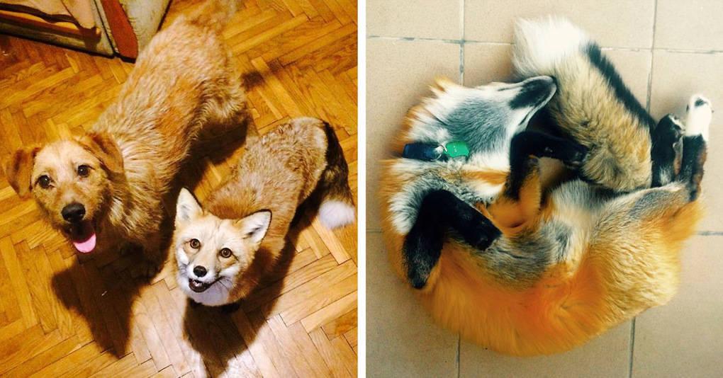 У спасённой с пушной фермы лисы теперь появился друг, и вот как они живут