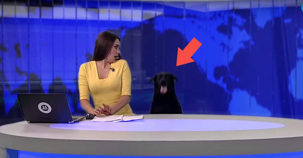 Это был обычный выпуск новостей, но вдруг из под стола ведущей появился он