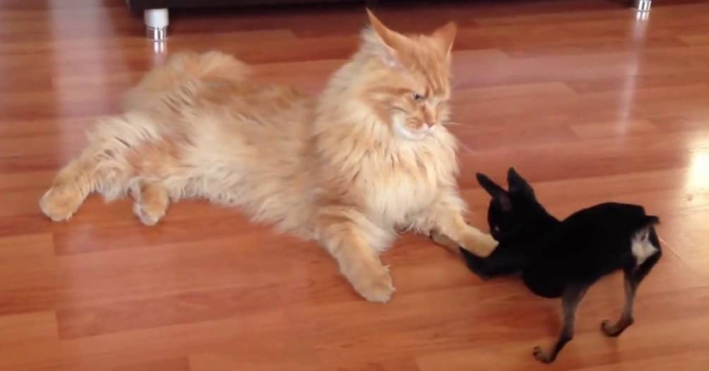 15 огромных домашних котов, от вида которых вы отдадите им все свои ценные вещи