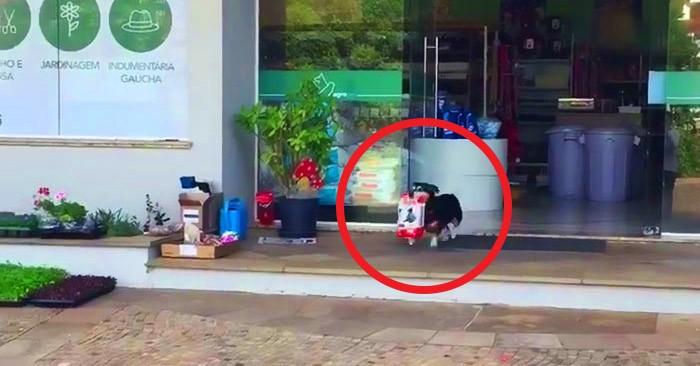 Обыкновенный пёс из Бразилии бьёт все рекорды самостоятельности, делая это