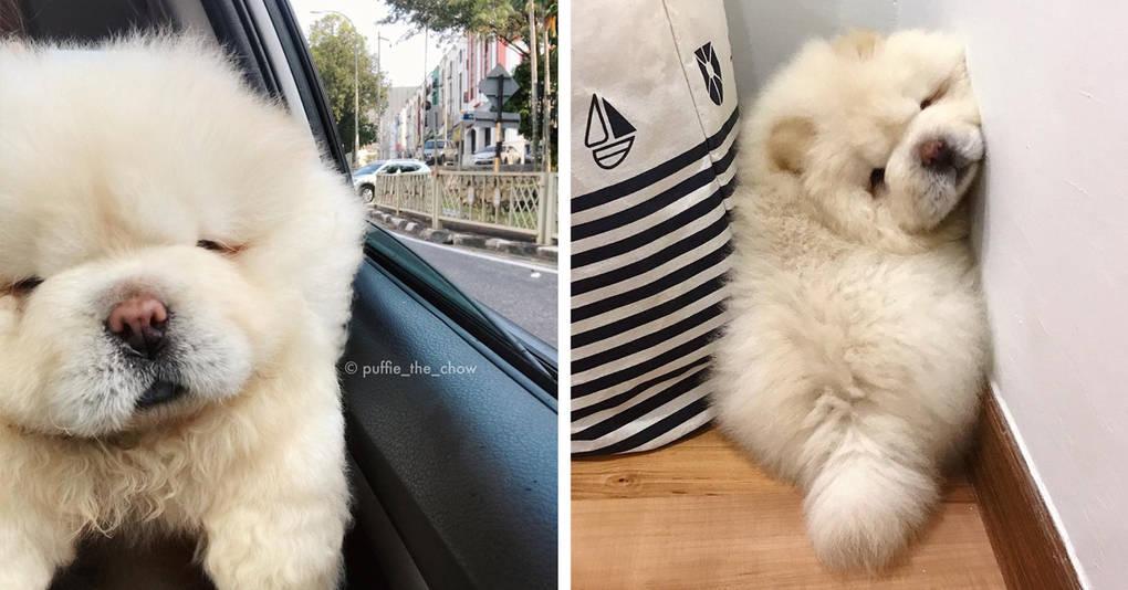 Эта милая собачка, похожая на картошину, разорвёт вас на куски своим очарованием