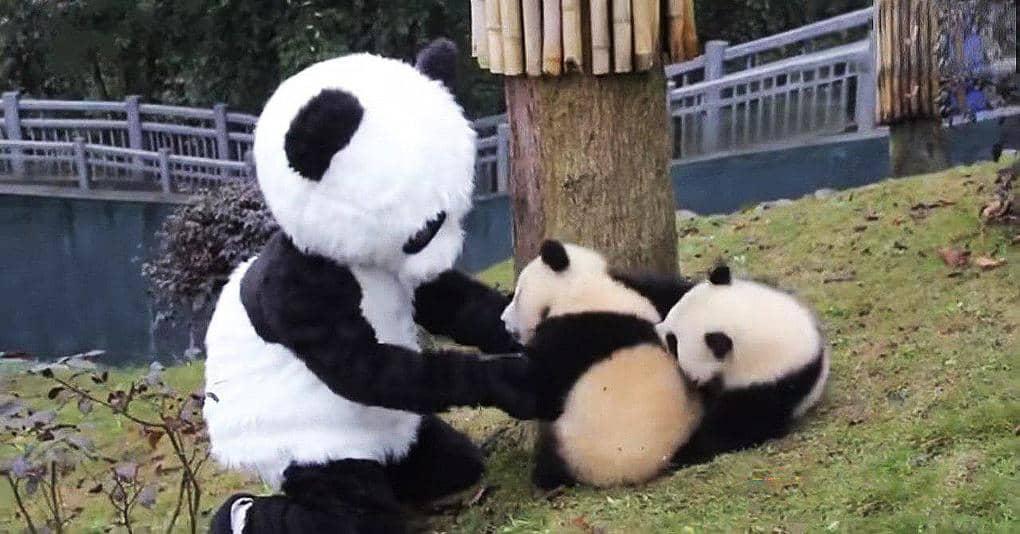 Смотрители заповедника одеваются в костюм панды, чтобы поиграть с малышами, и вот зачем они это делают