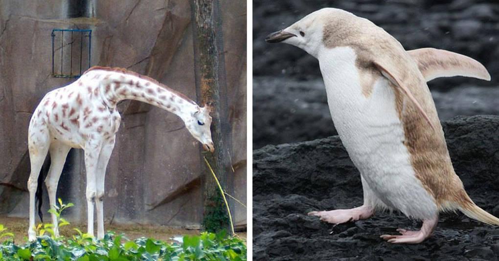 25 очаровательных зверей-альбиносов, которые непременно умилят вас