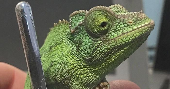 Кто-то заметил эту необычную особенность хамелеонов, и интернет сошёл с ума