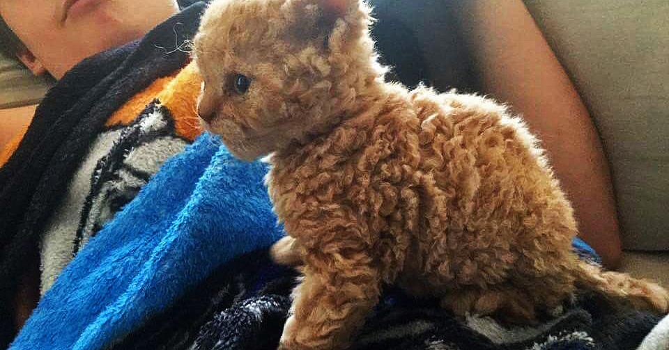В сети появились фото необычных кудрявых котят, и теперь весь интернет сходит по ним с ума