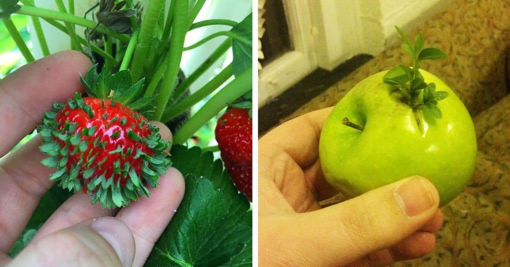 14 проросших овощей и фруктов, какими вы не хотели бы их видеть