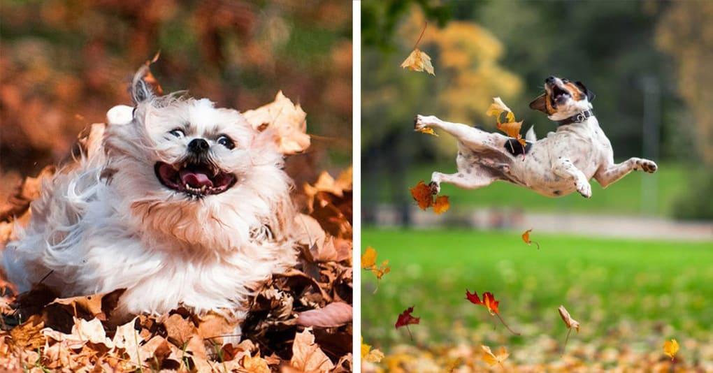 16 озорных собак, играющих в осенней листве, которые обязательно согреют ваши сердца