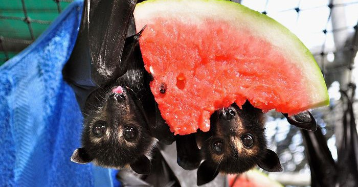 Если вы думаете, что летучие мыши ужасны, то эти 25 фотографий точно изменят ваше мнение