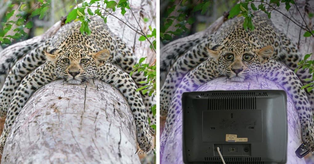 Грустный леопард стал причиной весёлого фотошоп-баттла, и на это стоит посмотреть