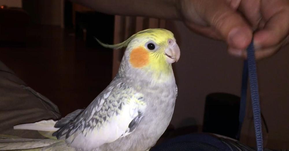 Попугай мастерски пародирует рингтон iPhone своего хозяина, и делает он это не просто так