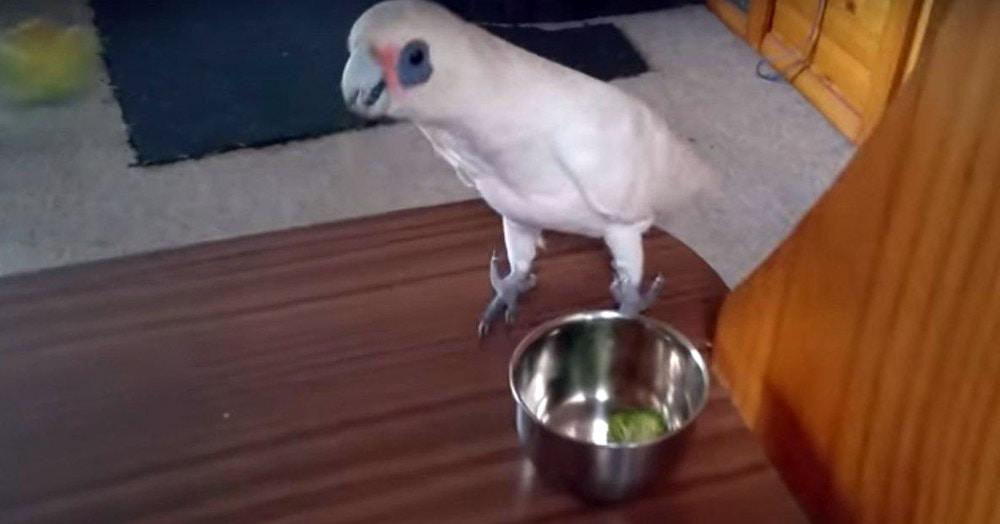 Хозяйка хотела покормить попугая брокколи, но его реакция была настолько красноречива, что вряд ли женщина попытается это сделать ещё раз