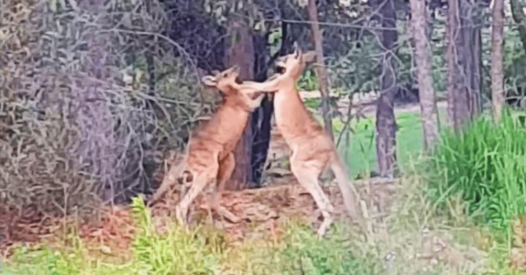 Мужчина разнял дерущихся кенгуру, крикнув, что позовёт их родителей. Реакцию бойцов надо видеть!