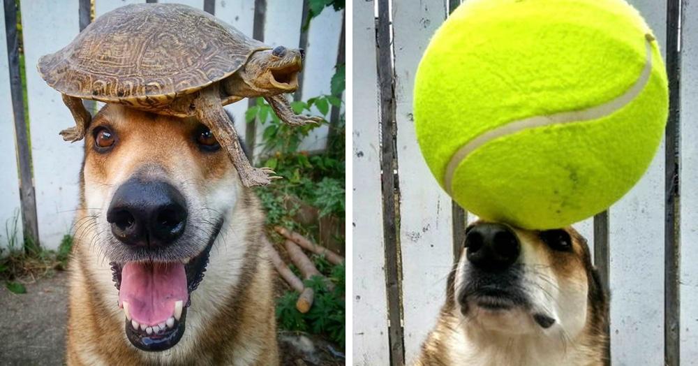 Пёс показывает чудеса воспитанности, удерживая на своей голове всё, что угодно. Даже сосисочки