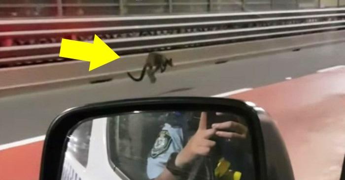 Деловой кенгуру улепётывает от полицейских по мосту в Сиднее. Типичное австралийское утро во всей красе