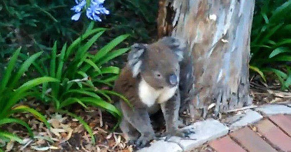 Маленькая коала хотела пить и грустненько сидела под деревом. Когда ей дали воды, оказалось, что она не такая уж и маленькая, а настоящий водохлёб