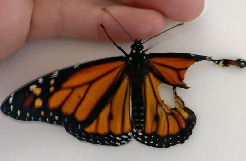 На первый взгляд казалось, что у этой бабочки не было шансов выжить, однако дизайнер сделала ей операцию и доказала, что чудеса иногда случаются