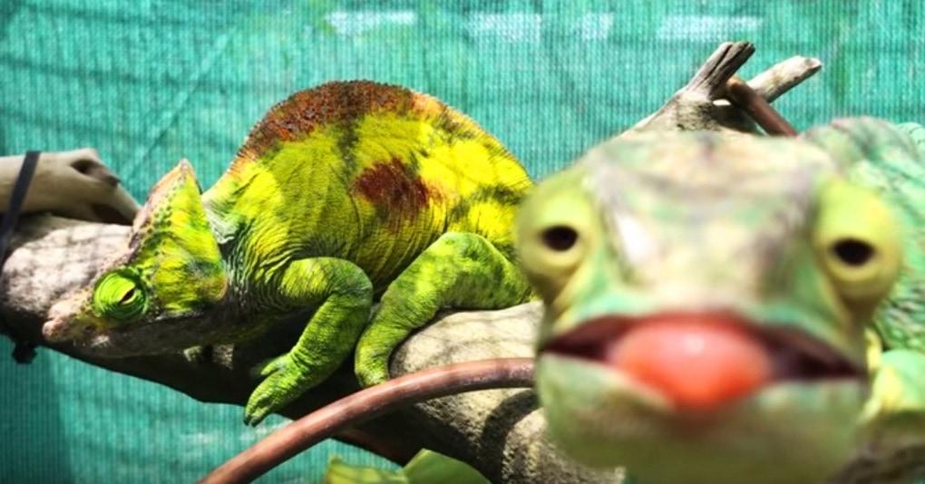 Самка хамелеона проигнорировала своего друга ради позирования на камеру, и его реакция достойна миллиона Оскаров