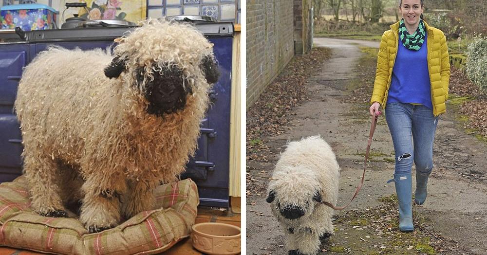 Из-за дружбы с лабрадором эту овцу по кличке Марли приходится заново учить быть овцой. Так как он на 100% уверен, что является собакой