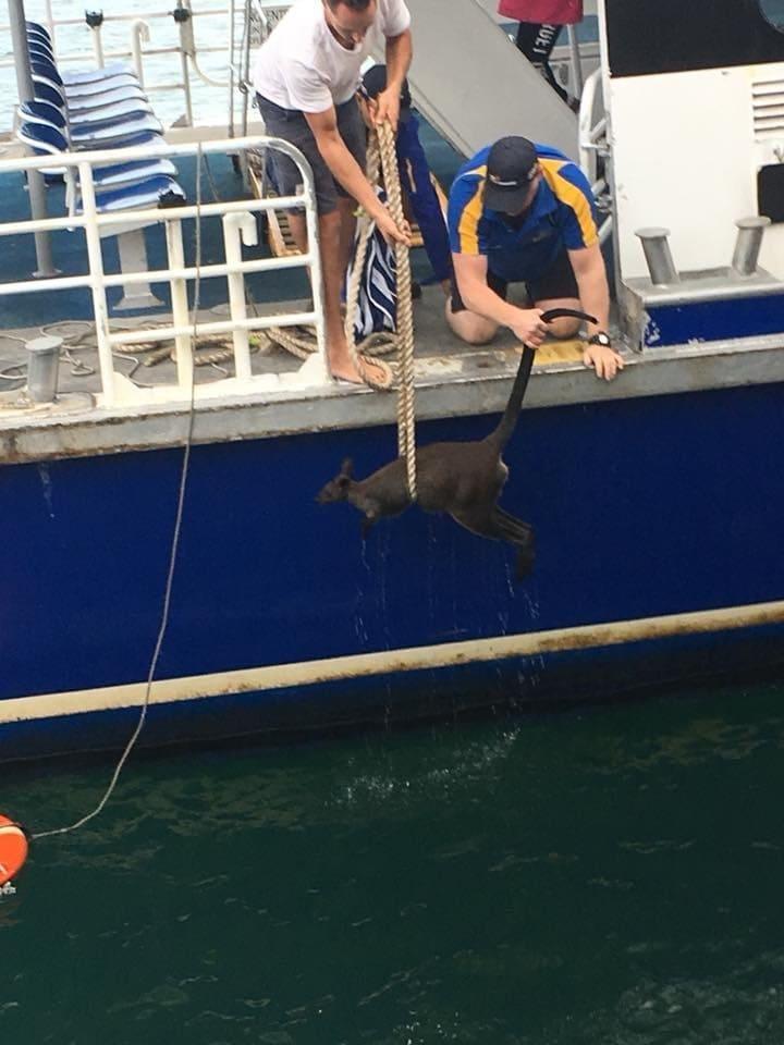 162bff61252c5da65e7656ece823fe1d Паромщики Сиднея много чего вылавливали из воды, но на этот раз им попался совершенно неожиданный экземпляр, которым оказался… кенгуру