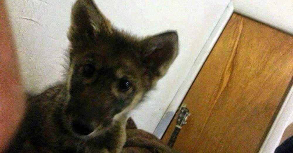 Парень нашёл на улице щенка и взял его себе. Пёс долго терроризировал соседей, и его отвезли в приют для собак, куда его не взяли. Потому что он не собака