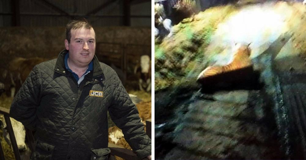 Фермер вызвал полицию, которая почти час держала в осаде коровник, в который забрался тигр. Но в итоге оказалось, что у страха глаза велики