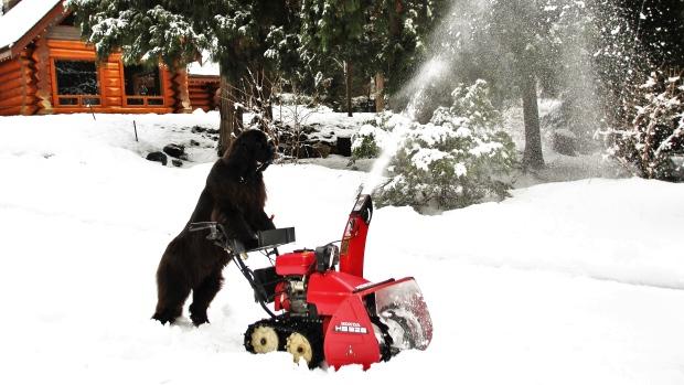 Эта канадская собака почти как «муж на час» — придёт и сделает всё как надо. Убрать снег? Легко! Пожарить сосисочки? Да без проблем!
