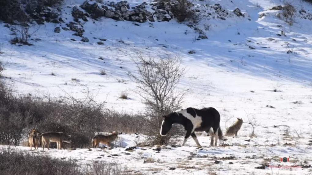 Пользователь Интернета из Италии снял видео, на котором лошадь просто решила поваляться в снегу в окружении стаи волков. Волки в ступоре. Мы тоже
