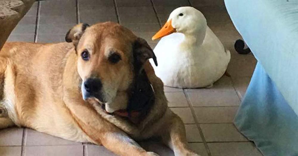 После смерти лучшего друга сердце этого пса было совершенно разбито. Но потом одна очень внезапная уточка взяла ситуацию в свои лапки
