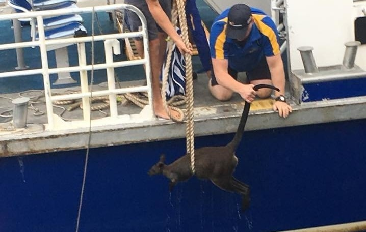 Паромщики Сиднея много чего вылавливали из воды, но на этот раз им попался совершенно неожиданный экземпляр, которым оказался… кенгуру