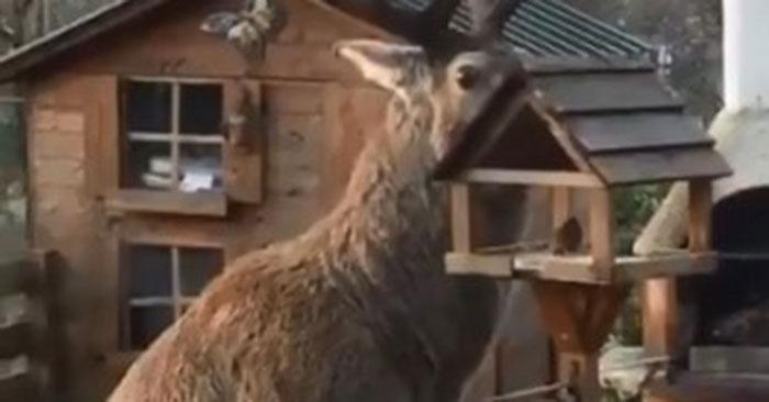 На территории отеля в Шотландии поставили кормушку для пернатых, но такую «птичку» никто не ожидал увидеть. Визитёра успели заснять на видео