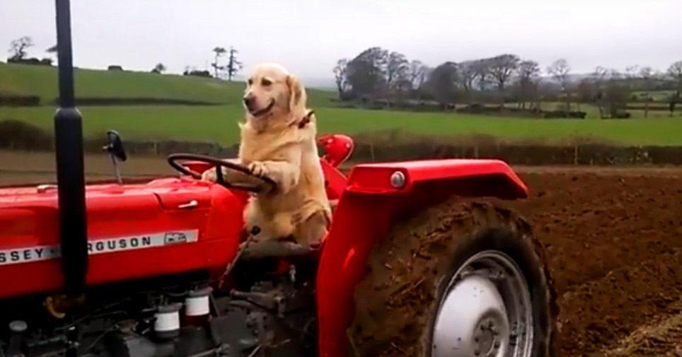 «Тр-Тр пёс» из Новой Зеландии водит трактор и в ус не дует. Люди в шоке, а он спокойненько поле вспахивает
