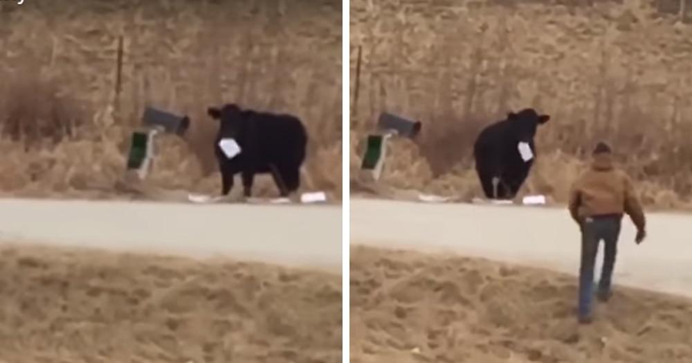 Американка неожиданно стала свидетельницей странной коровьей трапезы, и судя по этому видео животные явно от нас что-то скрывают